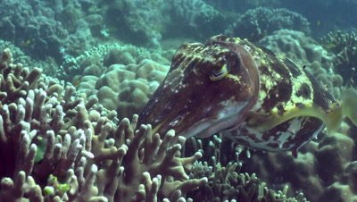 Cuttlefish placing eggs inside stag horn coral