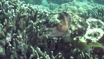 Cuttlefish placing eggs inside stag horn coral, zoom-in