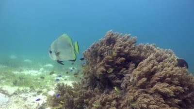 Batfish swimming on shallow coral reef