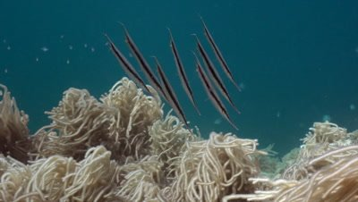 Group of razorfish moving along some soft corals