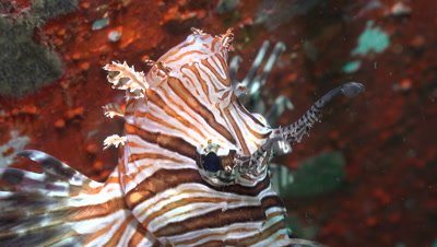 Close-up of a Lionfish's head