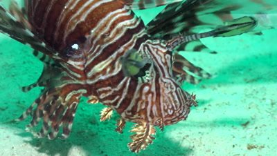 Lionfish turning head, close-up