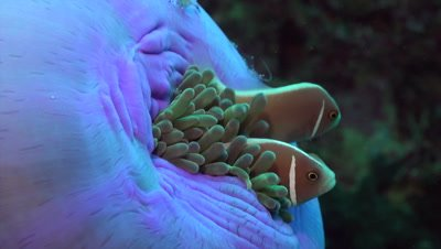 Pink anemonefish on closed anemone with shrimps