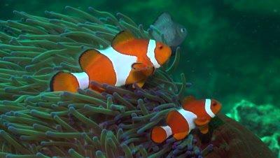 True clownfish protecting its anemone