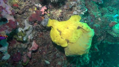Giant yellow frogfish on wall