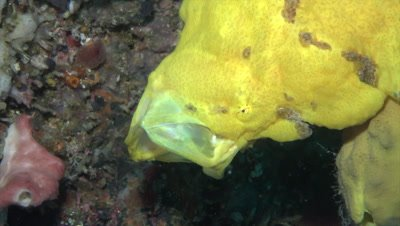 Giant yellow frogfish yawning