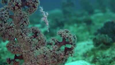 Ghost pipefish turning on soft coral