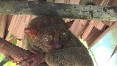 Tarsius opening eyes
