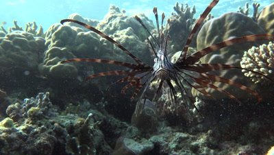 Red lion fish opening mouth and attacking