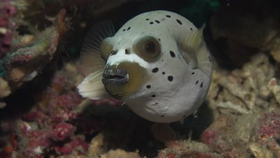 Close-up of blackspotted puffer turning