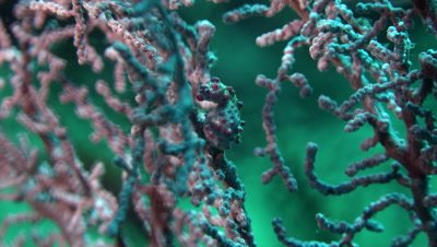 Pymy seahorse on sea fan