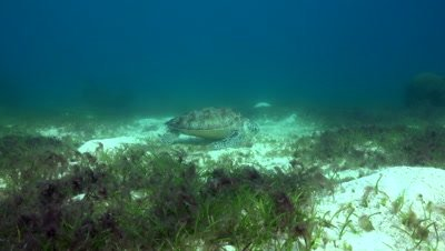 Green sea turtle feeding on sea grass