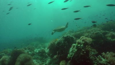 Green sea turtle swimming over coral reef