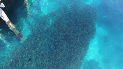 Flying over massiv school of fish around pier at Arborek Tourism Village in Raja Ampat