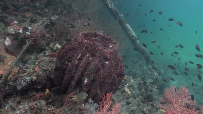 Giant barrel sponge in a channel in Raja Ampat