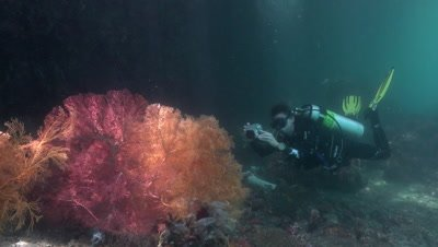 Diver taking photos of a giant sea fan in a channel in Raja Ampat