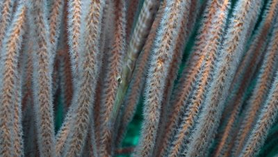 Trumpetfish hiding between whip coral, close up
