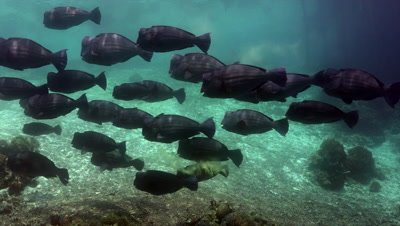 School of humphead parrotfish passing by