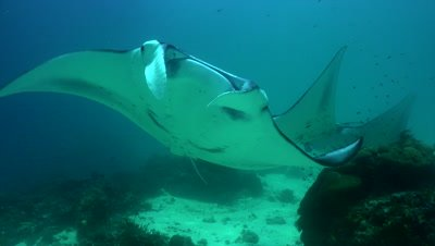 Several mantas turning away in front of camera over cleaning station