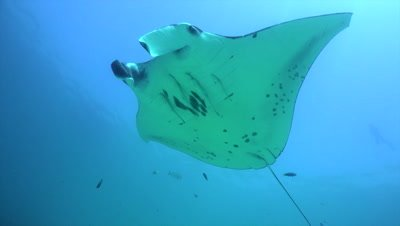 Two mantas getting cleaned on cleaning station and swimming over the top