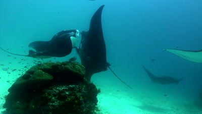 Two mantas going belly-to-belly on cleaning station