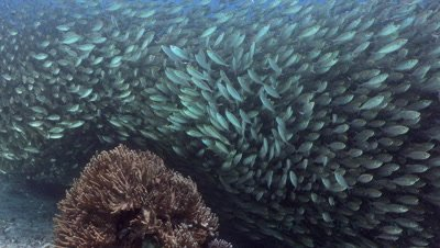 Big school of goldband fusiliers swimming around a coral block