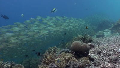 Endless school of goldband fusiliers swimming over coral reef