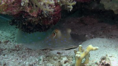 Bluespotted stingray resting under coral ledge