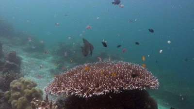 Longfin batfish swimming over staghorn coral