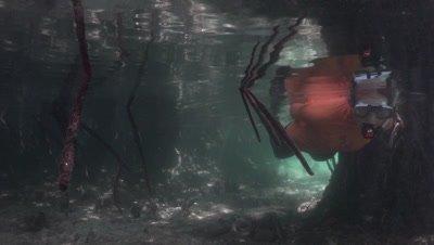 Snorkeler swimming through mangroves pointing at something