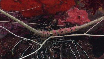 Close up of a Crayfish