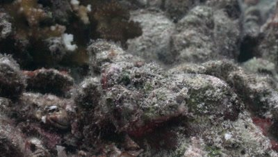 Close up of very well camouflaged scorpionfish