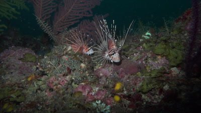 Two spotfin lionfish on colorful coral reef at night