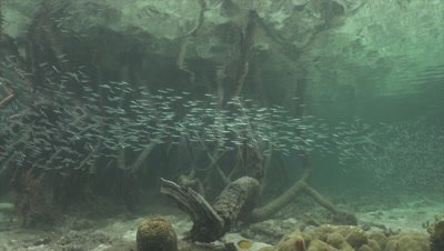 School of tiny fish swimming through mangroves
