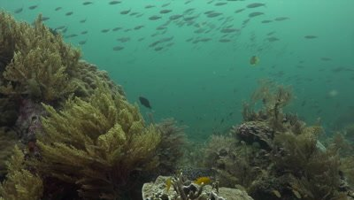 School of fish swimming over soft coral reef