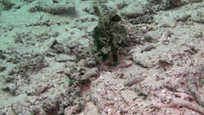 Decorator crab with jellyfish on its back crawling over sand
