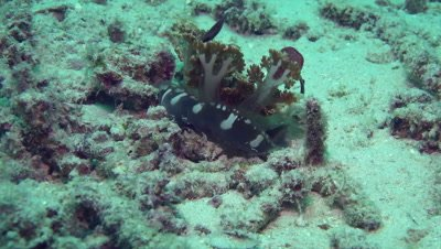 Decorator crab with jellyfish on its back hiding