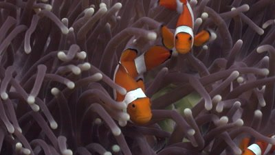 Close up of couple of true clownfish in their anemone