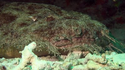 Close up of wobbegong shark breahting