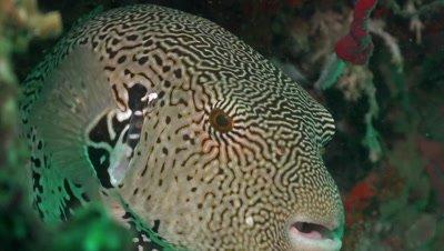 Close up of pufferfish hiding