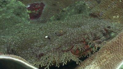 Close up of tasselled wobbegong shark laying inside elephant ear sponge