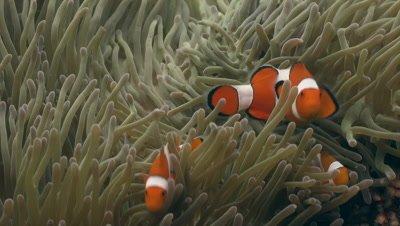Close up of true clownfish in anemone