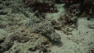 Flathead crocodile fish moving over sand
