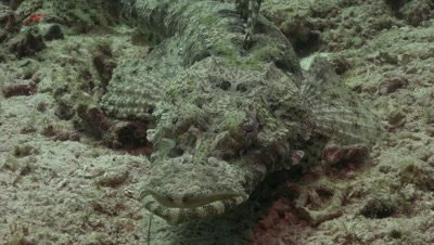 Flathead crocodile fish moving towards camera