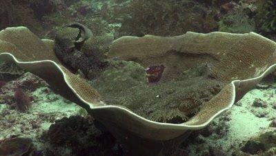 Tasselled wobbegong shark laying inside elephant ear sponge
