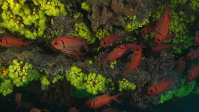 Big eye squirrelfish with yellow coral in background