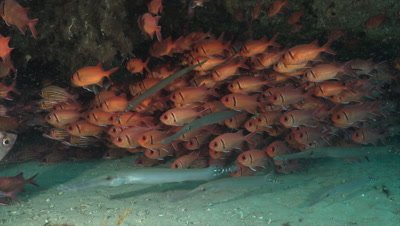 Trumpetfish and squirrelfish under reef ledge