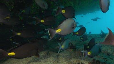 School of surgeon fish under reef ledge