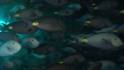 Swimming through big school of surgeon fish