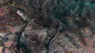 Honeycomb moray on rocky reef wall